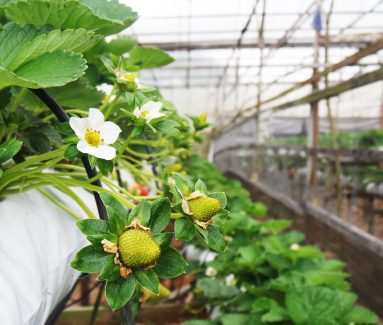 Aardbeien farm Cameron Highlands