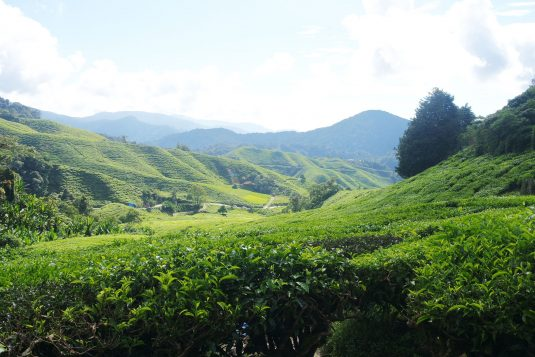 Theeplantage in Cameron Highlands