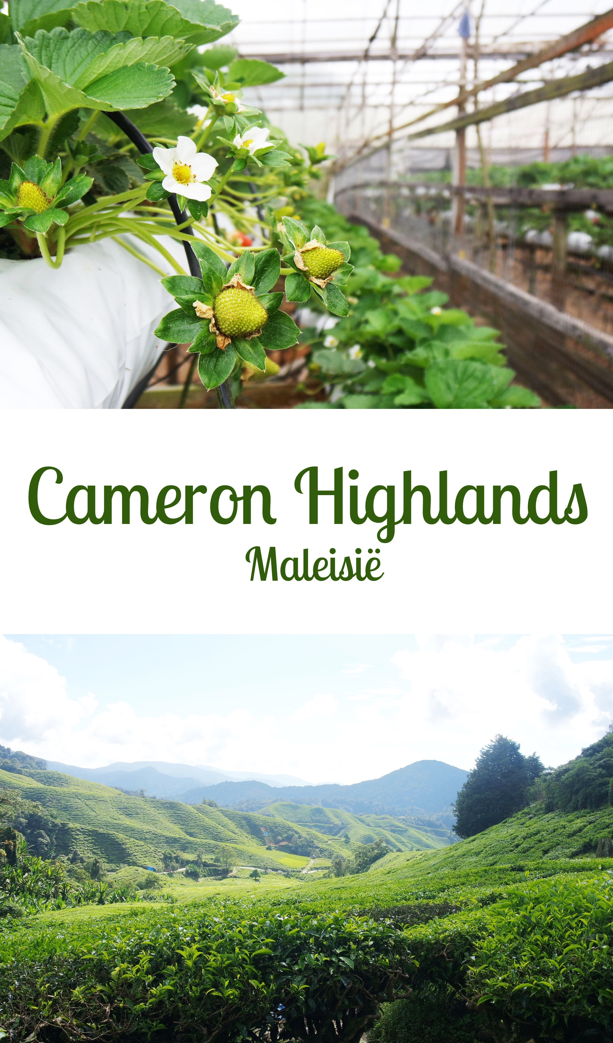 Maleisië - Cameron Highlands