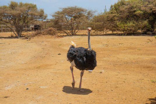 Struisvogelfarm