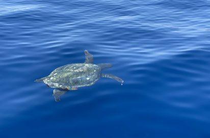 Caretta-Caretta schildpad bij Schildpaddeneiland